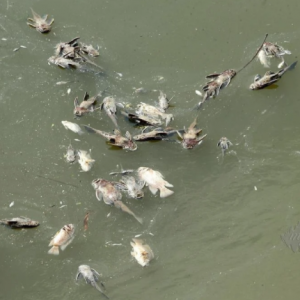 Bau busuk ganggu penduduk. Ratusan ikan sungai Damansara mati keracunan?